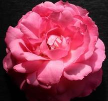 rosa en pizarra foto