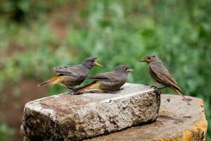 Black redstarts - youngsters fuss photo
