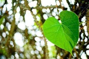 Heart-shaped Leaf photo