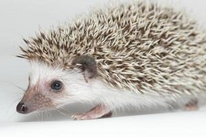 Atelerix albiventris, African pygmy hedgehog. photo