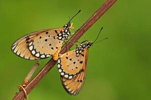 amor mariposa foto