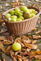 Crop of green apples in basket