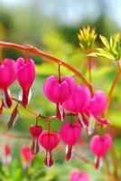 Bleeding Heart flowers ( Dicentra spectabilis) photo