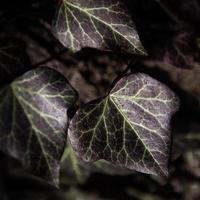 Natur, Pflanze, Effeu photo