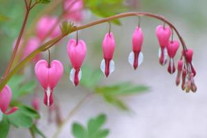 Dicentra Spectabilis, Heart Flowers photo