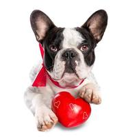 Cute french bulldog with a red heart photo
