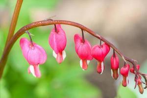 Flores de corazón sangrante (dicentra spectabilis o lamprocapnos spectabilis foto