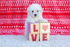 Poodle puppy and word love