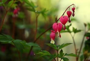 Bleeding heart flower photo