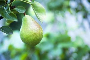 Organic pear in the garden photo