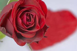 Red rose and heart photo