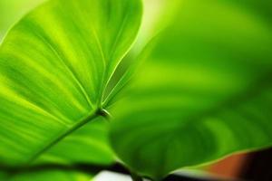 Cerca de hojas verdes de filodendro en forma de corazón (cariño) foto