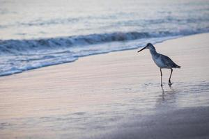 Bird walking in the beach