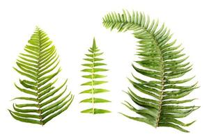 Sprig fern leaves on white background