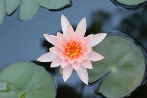 Close up pink lotus water lily flower