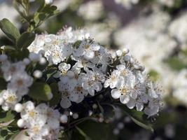 White firethorn flowers