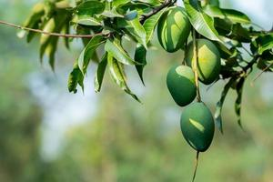 mangos frescos en el árbol