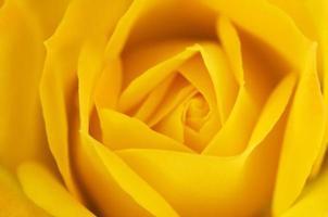Yellow rose close-up