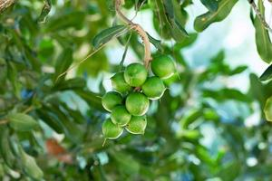 Macadamia nut hanging on the tree