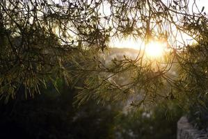 el sol brilla a través del pino foto