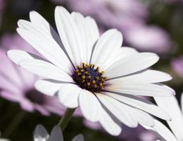 African daisy in the park