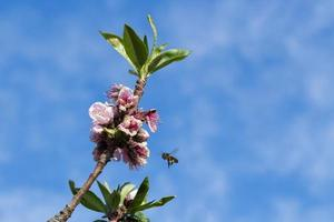 Bee flying at the flowers