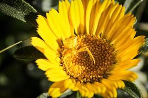 Yellow spider on a daisy