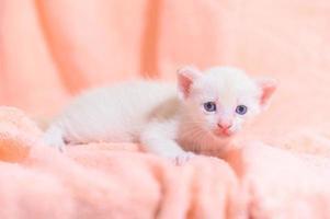 A cute white kitten on a towel