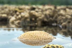 coral cerebro ranurado foto