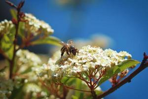 Bee sitting on small flowers photo