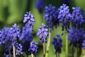Blue modrica flowers photo