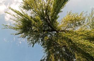 Bottom view of hanging willow tree