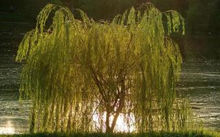 Willow in reflected sunlight photo