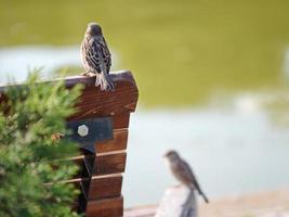 pardal em pé no banco de madeira marrom foto