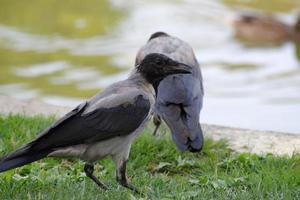 cuervos en la orilla del lago