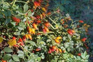 Rosehip ripe fruits