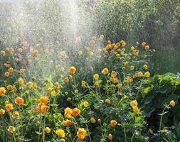 Trollius watering photo