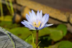 Cape Blue Water Lily