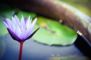 Colorful purple water lily