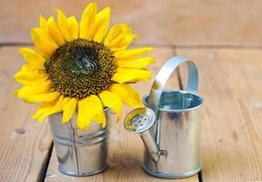 Sunflower and watering can