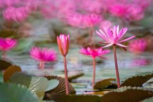 hermoso lirio de agua en flor. foto