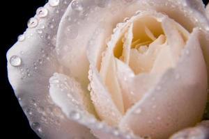 rozenknop met waterdruppels