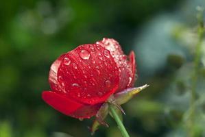 flor roja con gotas de agua foto