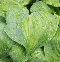 Plantain lily after rain photo