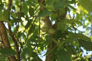 unripe walnut on the tree photo