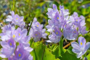 Water hyacinth flower in natural water sources