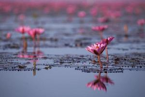 Water Lily Field photo