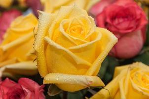 Yellow rose water drops