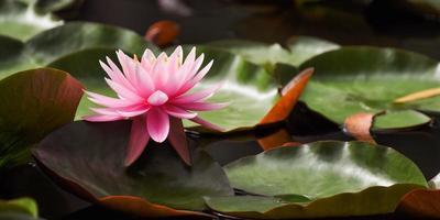 flor de lirio de agua rosa