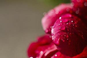 Water on red flower